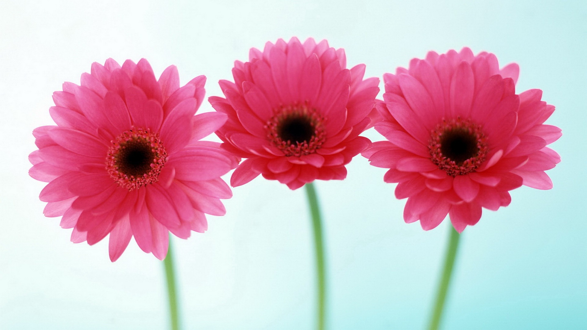Three-pink-daisies